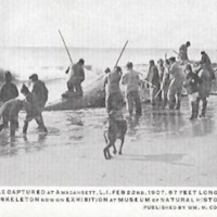 Whale Captured at Amagansett. L.I. Feb 22nd, 1907